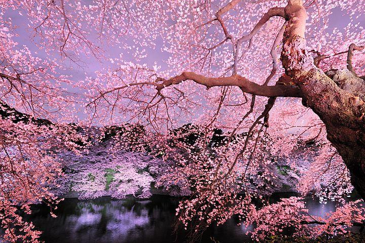 Come fiori di ciliegio for Sakura albero